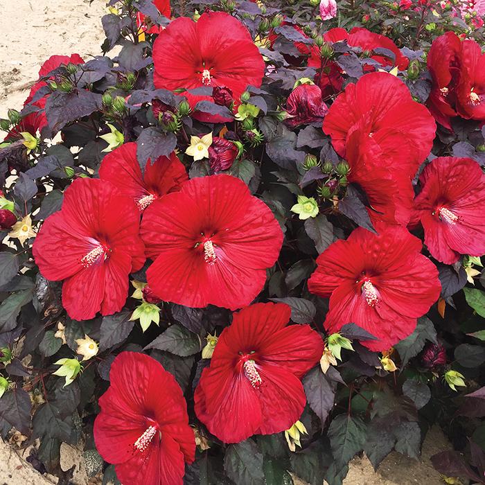 Hibiscus Summerific Holy Grail