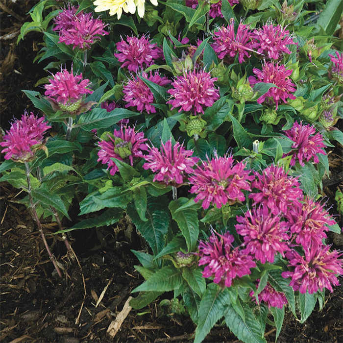 Monarda Purple Rooster