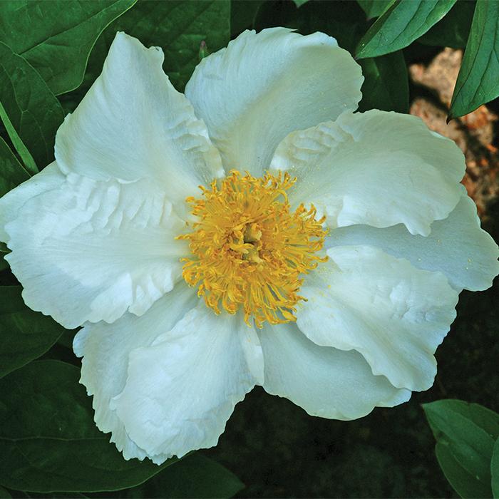 Krinkled White Paeonia
