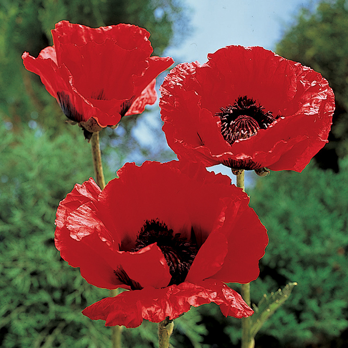 Papaver King Kong