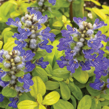 Ajuga Feathered Friends Cordial Canary
