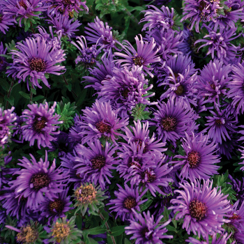 Aster Grape Crush