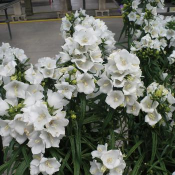 Campanula White Takion