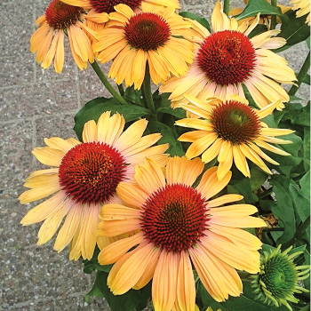 Echinacea Butterfly Apricot Rainbow Marcella