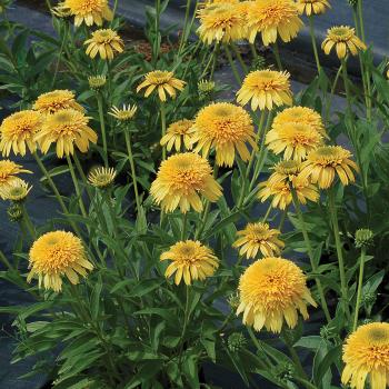 Cara Mia Yellow Echinacea