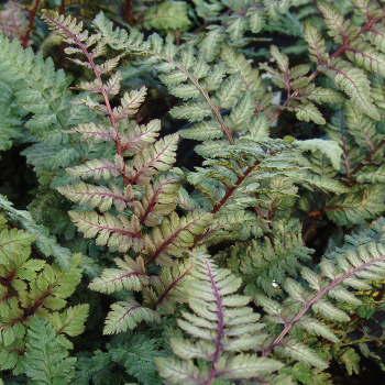 Fern Athyrium Regal Red