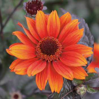 Heliopsis Red Shades
