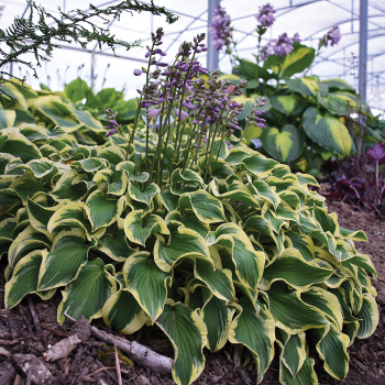 Hosta Wrinkle In Time