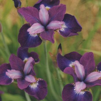 Siberian Iris Contrast In Styles