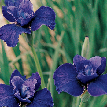 Harpswell Hallelujah Siberian Iris