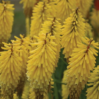 Gold Rush Kniphofia