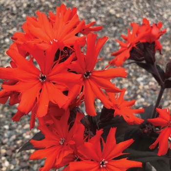 Orange Gnome Lychnis