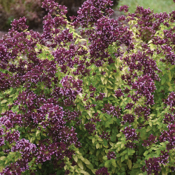 Drops of Jupiter Ornamental Oregano