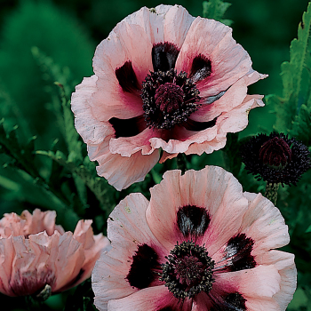 Little Dancing Girl Papaver