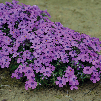 Phlox subulata Eye Shadow