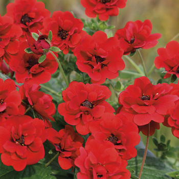 Potentilla Scarlet Dreams