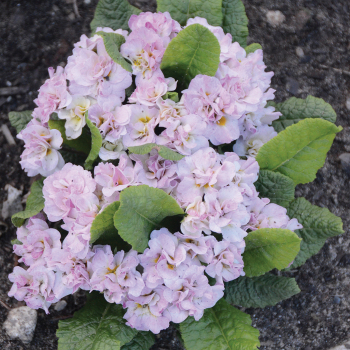 Pink Ice Belarina Primula