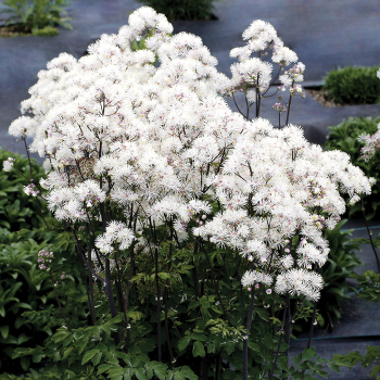 Nimbus White Thalictrum