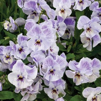 Viola Painted Porcelain