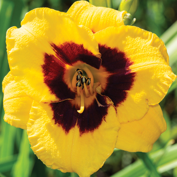 Daylily Blackberry Candy