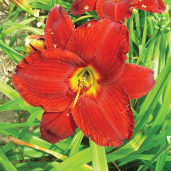 Daylily Chicago Commanche