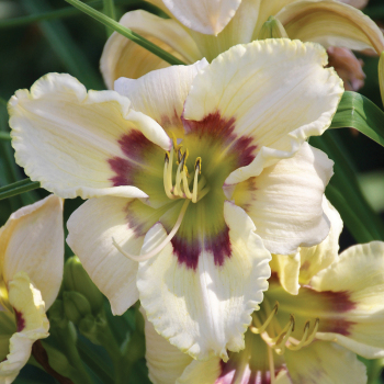 Daylily Dragon Flight