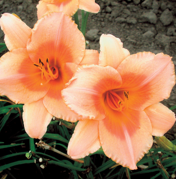 Daylily R&R Sweet As Honey