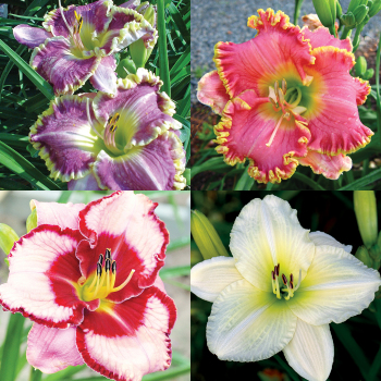 Popular Favorites Daylily Collection