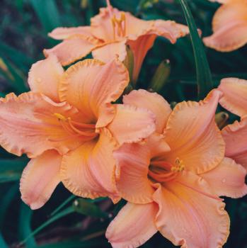 Daylily R&R Tangerine Dreams