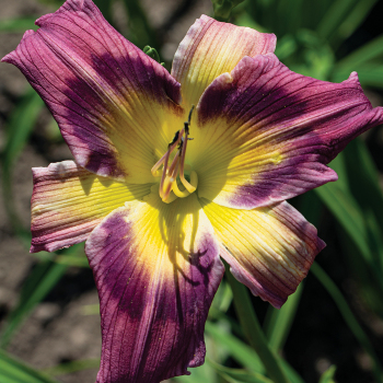 Daylily Magic Dancer