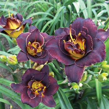 Daylily Voodoo Dancer