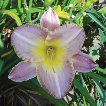R & R Poetry Daylily
