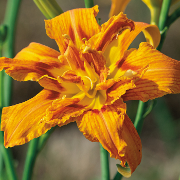Daylily Sensational Star
