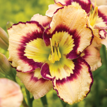 Daylily Spacecoast Sea Shells