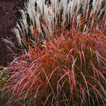 Grass Miscanthus Fire Dragon