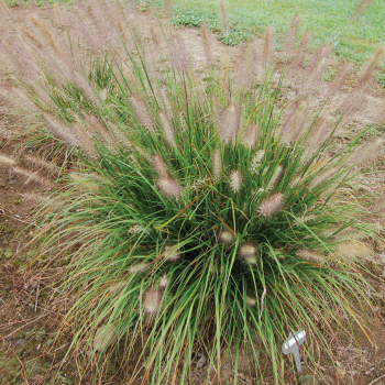 Grass Pennisetum Hush Puppy