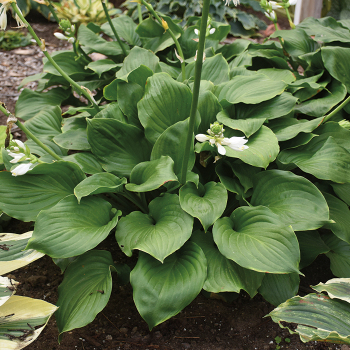 Hosta Royal Crest