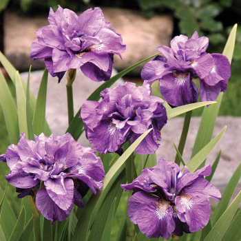 Imperial Opal Siberian Iris