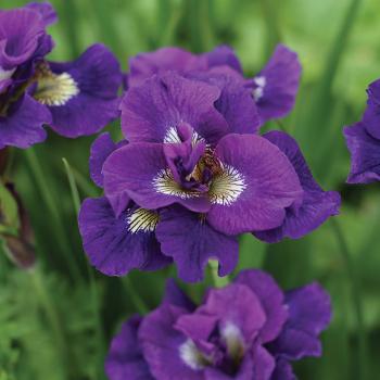 Kaboom Siberian Iris