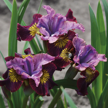 Siberian Iris Miss Apple