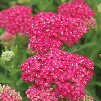 Seduction Saucy Achillea