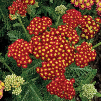 Seduction Strawberry Achillea
