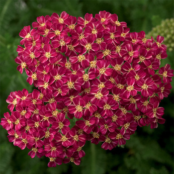 Achillea Desert Eve Deep Rose