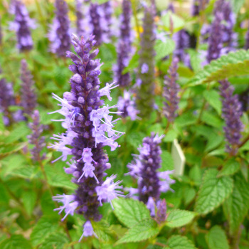 Agastache Little Adder