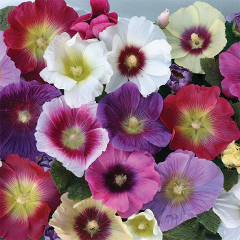 Alcea Halo Mix