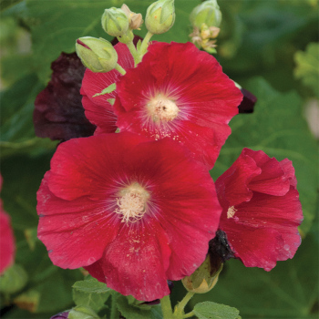 Alcea Spotlight Mars Magic
