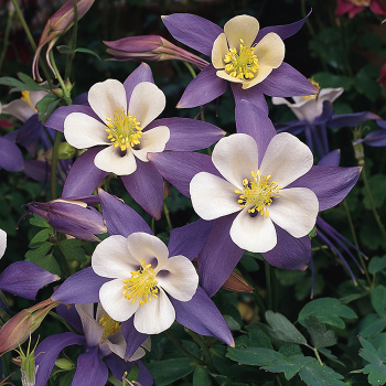 Aquilegia Blue Bird Songbird