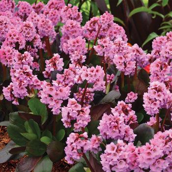 Spring Fling Bergenia