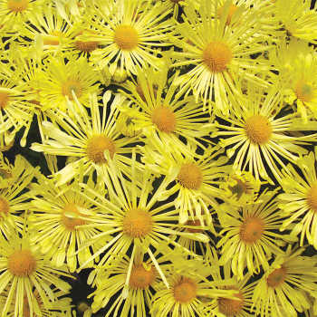 Chrysanthemum Mammoth Yellow Quill