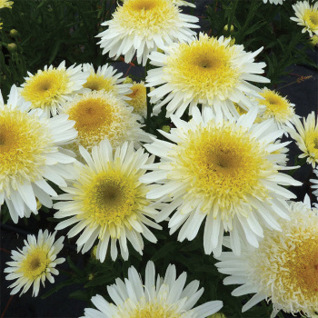 Real Glory Leucanthemum